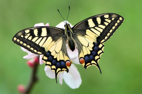 Mariposa-Papilio